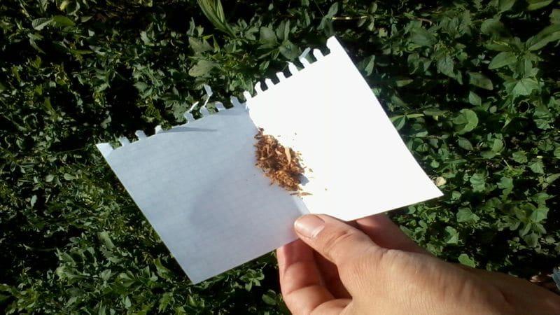 как вырастить табак в домашних условиях