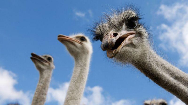 разведение страусов как бизнес с чего начать как преуспеть