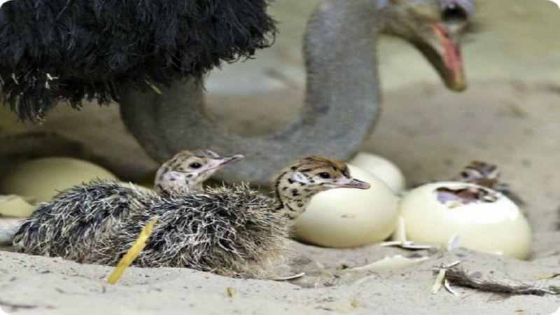 бизнес-план разведения страусов